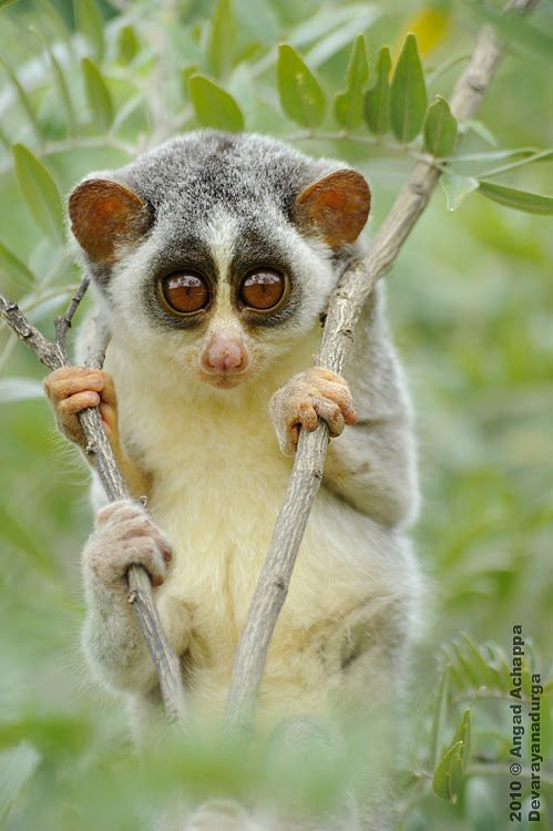"Slender loris: ""This miniature, saucer-eyed primate appears to be wearing permanent jam-jar-bottom spectacles. It gets its name, though, from its exceptionally long, thin limbs. Its soft thick fur is grey to reddish-brown on top and whitish-grey below."" 100 Animals To See Before They Die www.bradtguides.com"