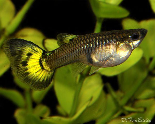 10 best guppies images on pinterest aquarium fish guppy for Fancy guppy fish
