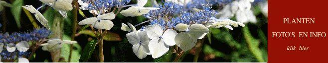 Hydrangea's - hortensias - info herkomst, standplaats, verzorging