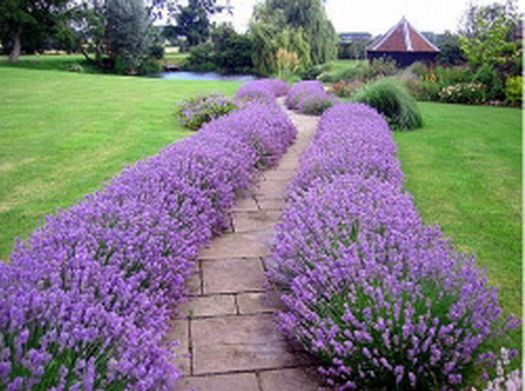 WALKWAYS and GARDEN PATHS: The lavender planting makes this long walkway a treat to use