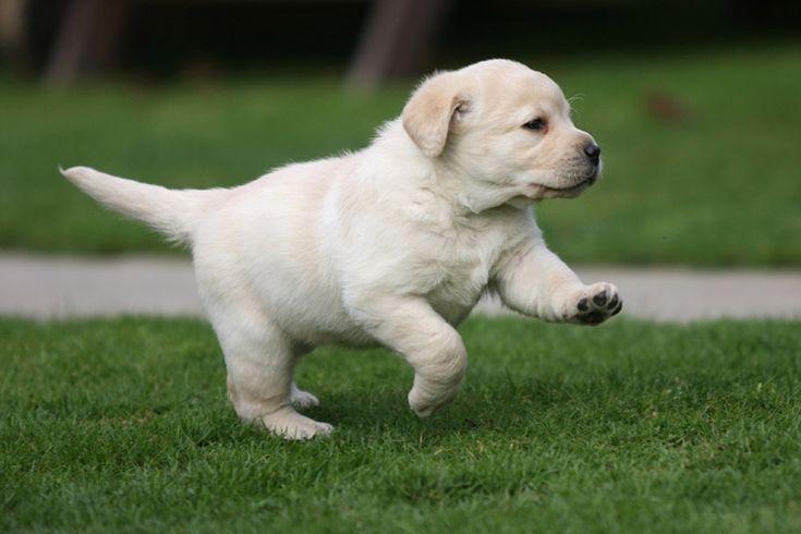 Labrador Puppies   ... all galleries >> Dogs >> Labrador Puppies > 5 weeks old labrador puppy