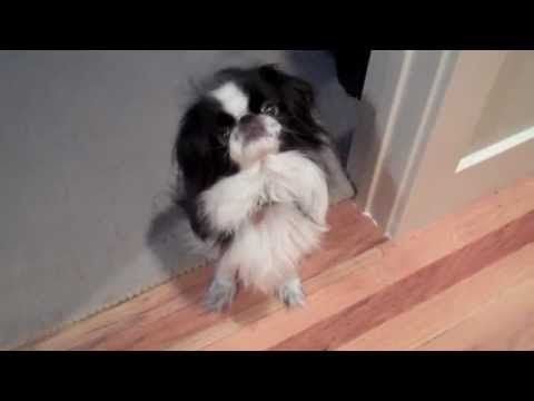 "Bonzai The Japanese Chin Dog: ""Chin Spinning"" for Dinner"