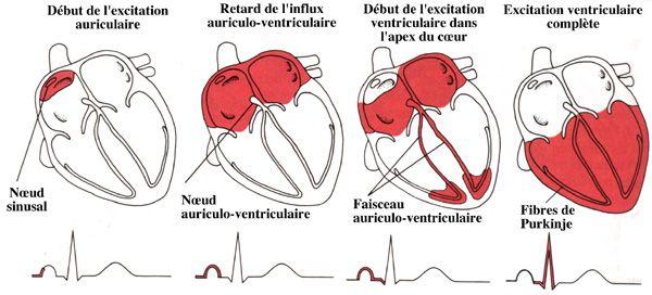 physiologie cardiaque - Recherche Google