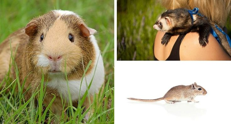 Small Furry Pet Test: How Well Do You Know Your Rodents? [QUIZ] http://www.wideopenpets.com/how-well-do-you-know-your-rodents/