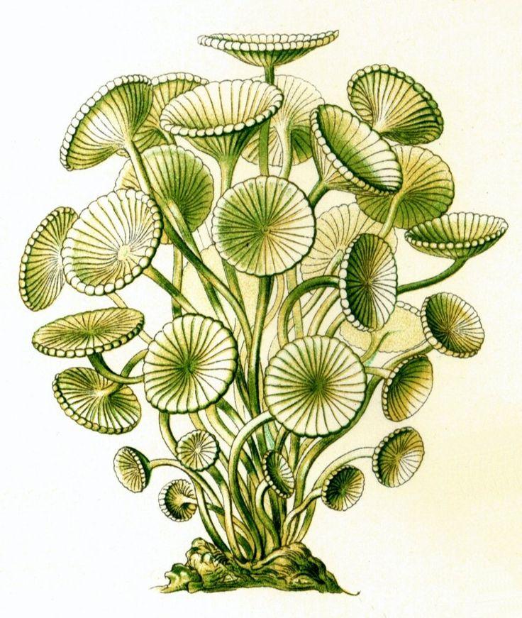 File:Haeckel Acetabularia acetabulum.jpg