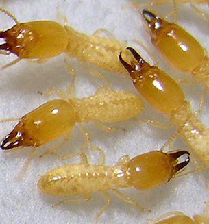 Pharaoh Ants   Welcome To AMPM EXTERMINATORS 206 571 7580