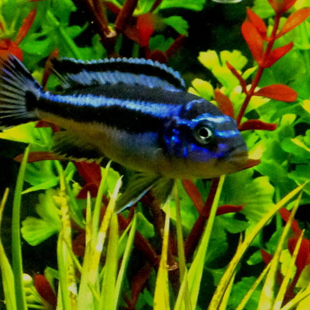 43 best images about african cichlids aquarium on pinterest for African freshwater fish