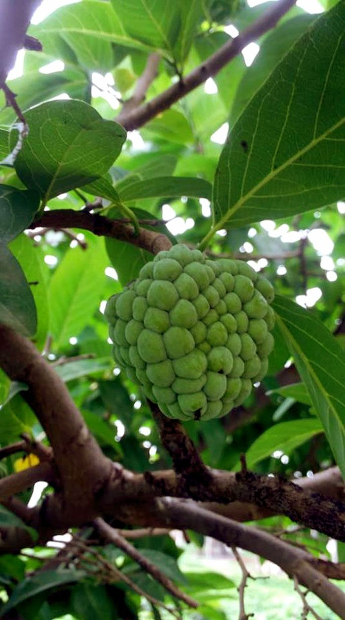 How To Grow Custard Apple In Container Growing Custard Apple Sugar Apple Apple Plant Grafting Fruit Trees Growing Strawberries In Containers