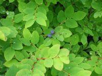 Huckleberry Buckle/Cobbler - International Wild Huckleberry Association