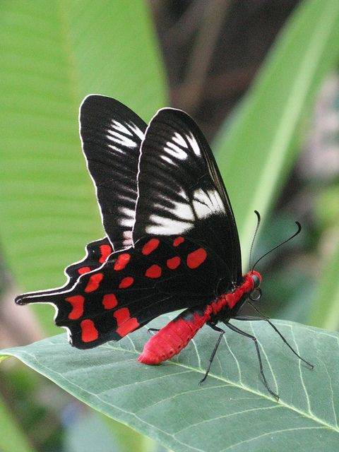 Red-bodied Butterfly