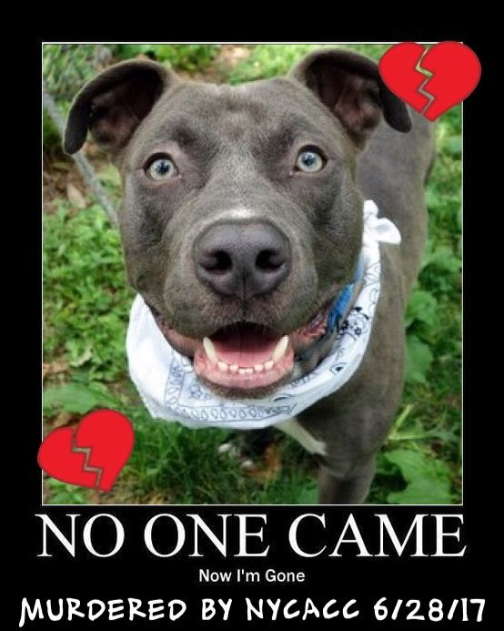 SENSELESSLY MURDERED 6/28/17 6/28/17 THE PUPPY MURDERERS NOTICED MONK COUGHING AND USE THIS EXCUSE TO PUT HIM ON TODAY'S DEATH LIST! TOTALLY UNACCEPTABLY!! PLS GO SAVE THIS BEAUTY! /IJ Manhattan Center MONK – A1115709 **SAFER : EXPERIENCED HOME** MALE, SILVER / WHITE, AM PIT BULL TER MIX, 1 yr STRAY – STRAY WAIT, NO HOLD Reason STRAY Intake condition UNSPECIFIE Intake Date 06/18/2017, From NY 10458, DueOut Date 06/21/2017, http://nycdogs.urgentpodr.org/monk-a1115709/
