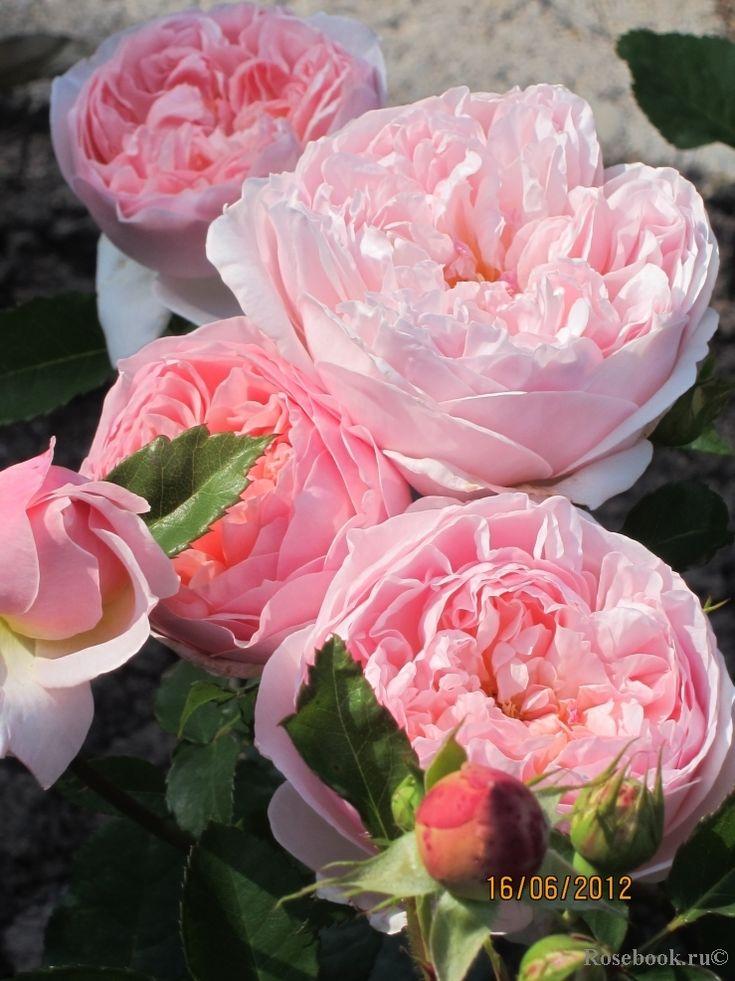 Evelyn ® Цвет: абрикосовый Кол-во цветков на стебле: 1-3 Размер цветка: 12-14 см Высота: 90-105 см Ширина: 90 см