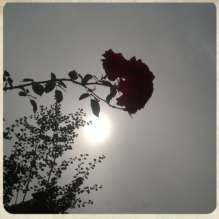My photo  | rose | sun |
