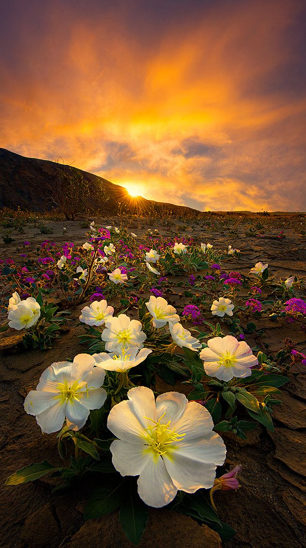 ~~A Desert Life | Sand Verbena and Primrose in bloom, sunset Anza-Borrego Desert State Park, California | by Bsam~~