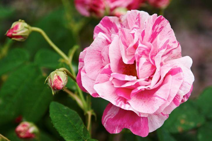 Polkagrisros, Rosa 'Rosa Mundi'