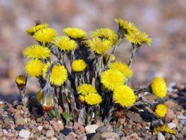 Podbeľ liečivý Skoro na jar sa odtrhávajú kvetné úbory  aj s krátkym zvyškom stopky. Neskôr sa zbierajú mladé listy. Materiál sa suší na lieskach stopkami hore. Droga obsahuje slizovité látky, silicu, triesloviny a organické kyseliny. V kvetoch je hojný obsah flavonoidov a viac silice. Podbeľ sa pre vysoký obsah slizu používa v čajoch ako prostriedok na uvoľňovanie hlienov pri liečbe dýchacích orgánov , proti kašľu, zápalom horných dýchacích ciest, prieduškovým katarom a astmatickým…