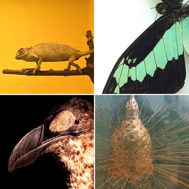The Zoological Museum at Trinity College Dublin contains an extensive collection of animals from Ireland and abroad from a total collection of approximately 25,000specimens. Re-Opens to the public in June 2016. #MuseumNext #museumnext2016 #museum #zoologymuseum #zoology #nature #greatauk #butterfly #chameleon #blaschka #model #glass #blaschkaglass #bird #animals #collection #university #trinitycollege #tcddublin #trinitycollegedublin #ireland #discoverdublin #campus #museums #irishmuseum…