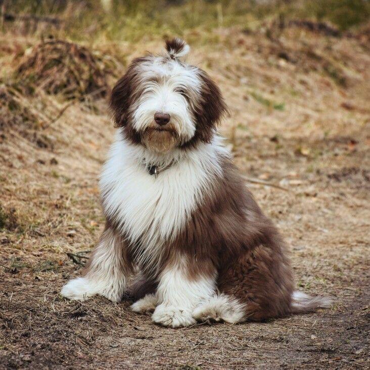 Bearded collie puppy Sammy Owczarek