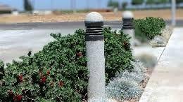 Image result for dwarf bottle brush plant