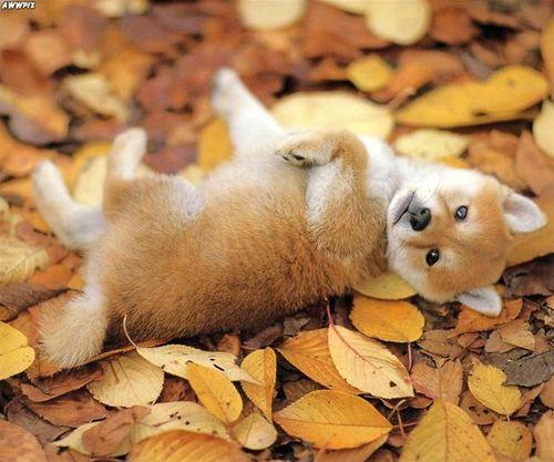 having a shiba inu looks like you have a pet fox. must gettt