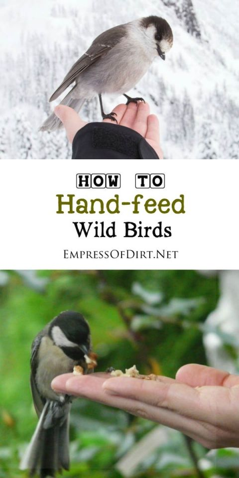 A simple, step-by-step guide for building relationships with wild birds that allow hand-feeding. Chickadees, Titmice, Nuthatches, and Downy Woodpeckers are good candidates for this.