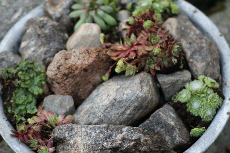 Etter tips fra flere hageblader har jeg laget meg et lite mini-steinbed med tre ulike typer takløk, noen steiner i ulik størrelse og bittelitt jord innimellom.