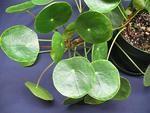 MountainView Tropicals : Mail-order tropical houseplants : Plant care : Potted PlantsPlant Catalog : Pilea