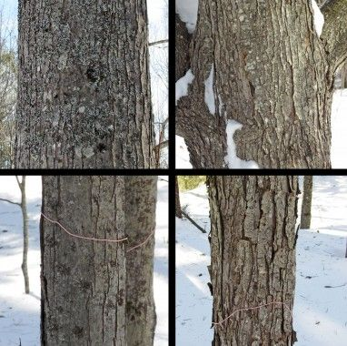 identifying maple trees by the bark can be difficult with such diversity