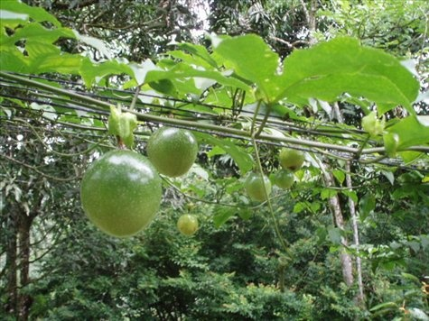 Learned this 2 days ago. That passion fruit vine is a nice trellis cover.
