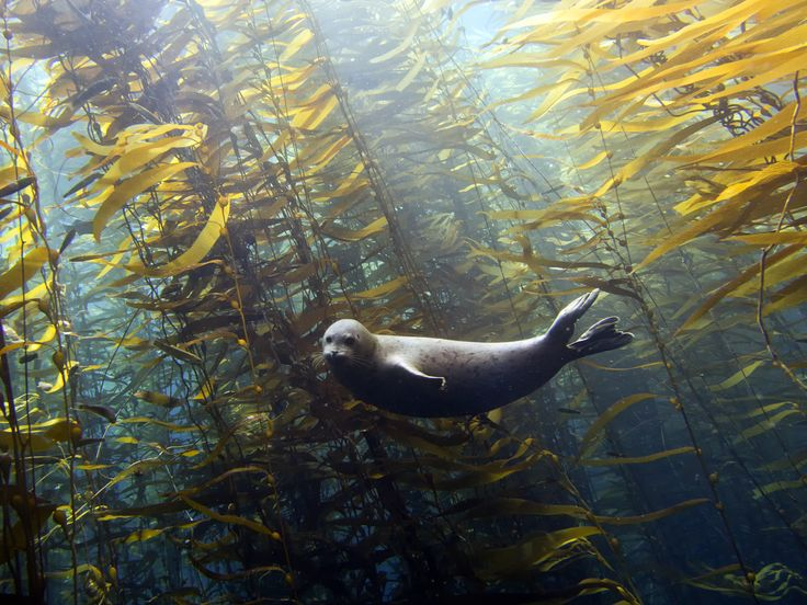 Photo by Kyle McBurnie of a harbor seal (Phoco vitulina) in the kelp forest at Cortes Bank near San Diego, California