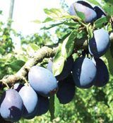 #2 -Stanley- A flavorful, very large purple prune plum. Excellent for eating fresh, drying or jam. A heavy bearer, self fertile and freestone.