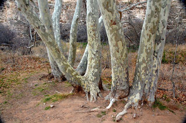 Sycamore Trees, Montezuma Castle National Monument, Arizona
