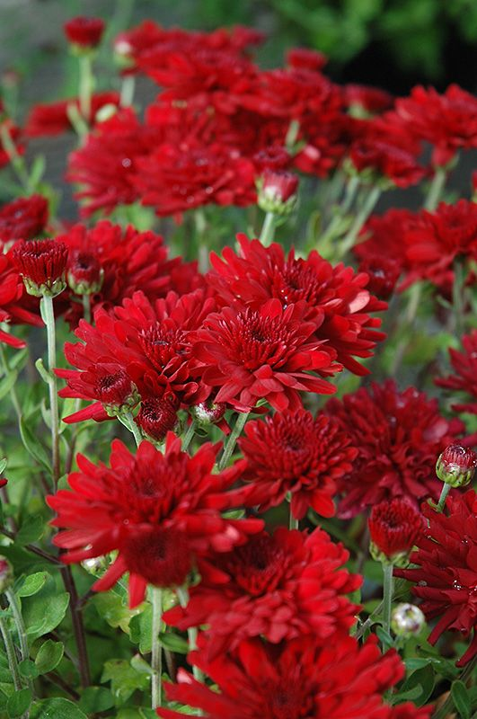 Attractive Five Alarm Red Chrysanthemum (Chrysanthemum U0027Five Alarm Redu0027) At Canadale  Nurseries. JO: Iu0027m Apparently A Sucker For This Color Of Red, Eh?