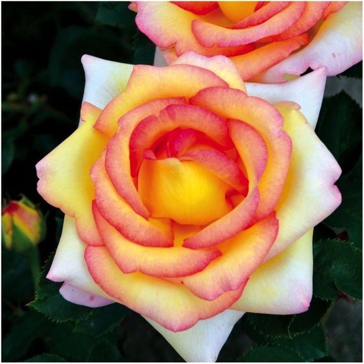 Die Edelrose 'Jean Piat' (Nirpalways) ist mit ihren extra großen Blüten in Bernstein und Rot der Hingucker in jedem Garten. Egal ob Rabatte, Garten-Beet, Kübel, Gruppen- oder Einzelpflanzung, diese Edelrose ist auf jedem Standort ein optisches Highlight ... gefunden auf www.tom-garten.de