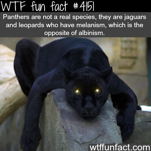 Actually panther is another name for puma( cougar, mountain lion, panther, same thing, usually different names in different areas)