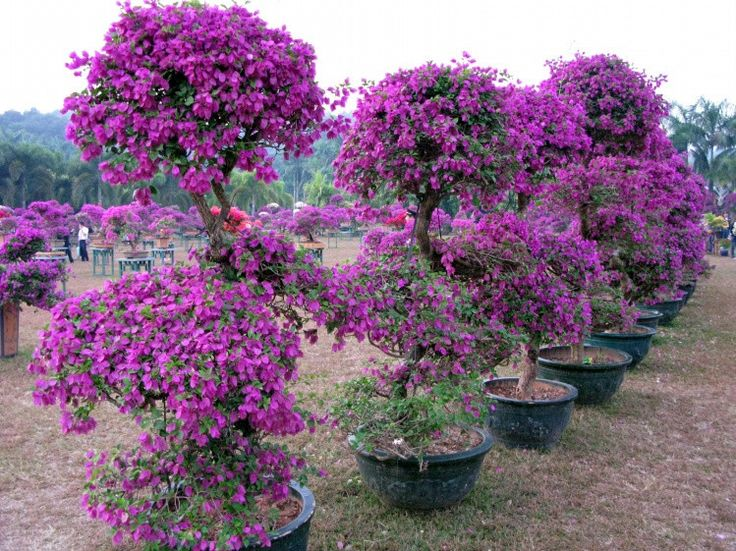 how to grow bougainvillea in pots | The specimen below is not 20 feet tall, it's a perspective thing...