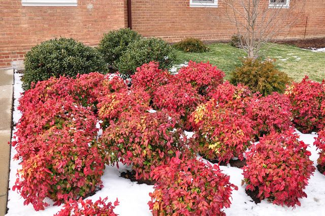 Image result for Nandina domestica 'Firepower' winter