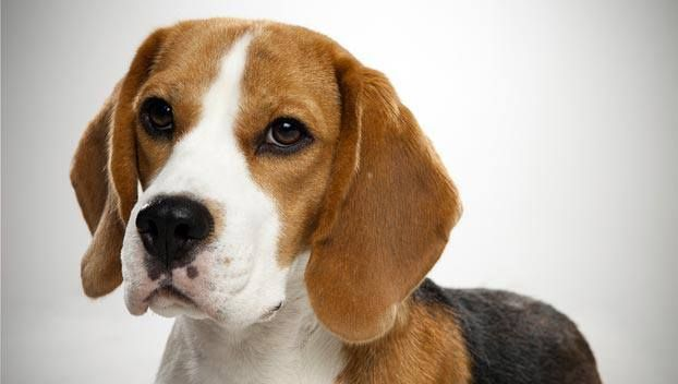 "The first Beagles date back to the 1500s. The breed probably originated as a cross between the Harrier and other types of English hounds. The name ""Beagle"" may have come from the French term ""be'geule"" which means ""gape throat,"" referring to the dogs baying voice. The name may also have come from the dog's size, stemming from the French word ""beigh,"" the Old English word ""begele,"" or perhaps the Celtic word ""beag,"" which all mean ""small."""