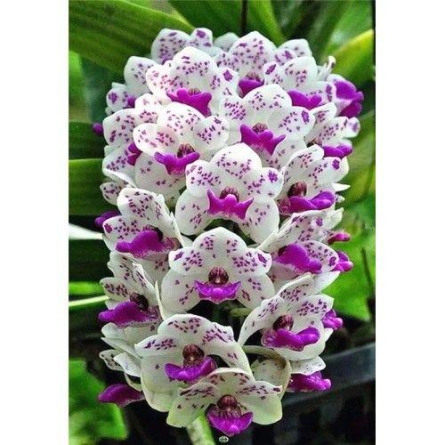 Orkidé vit/lila
