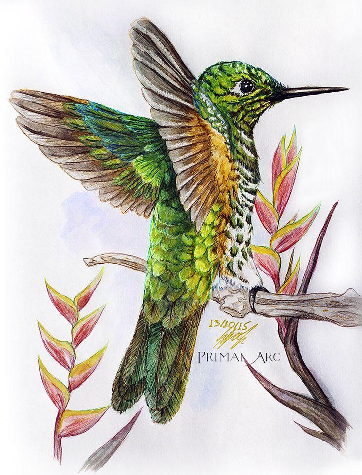 'Study of a Rufous-Tailed Hummingbird', watercolour. www.primalarc.com