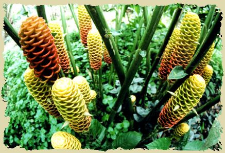 flora del mundo -(Guaria Morada) Madagascar.