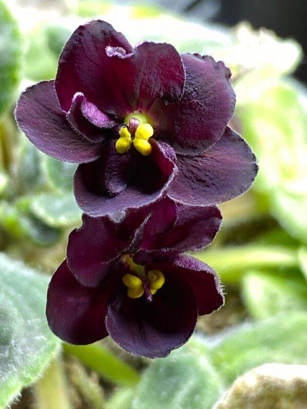 Saintpaulia 'Mac's Toreador Trophy' - Paris côté jardin | Orchidée, Fleurs, Plante