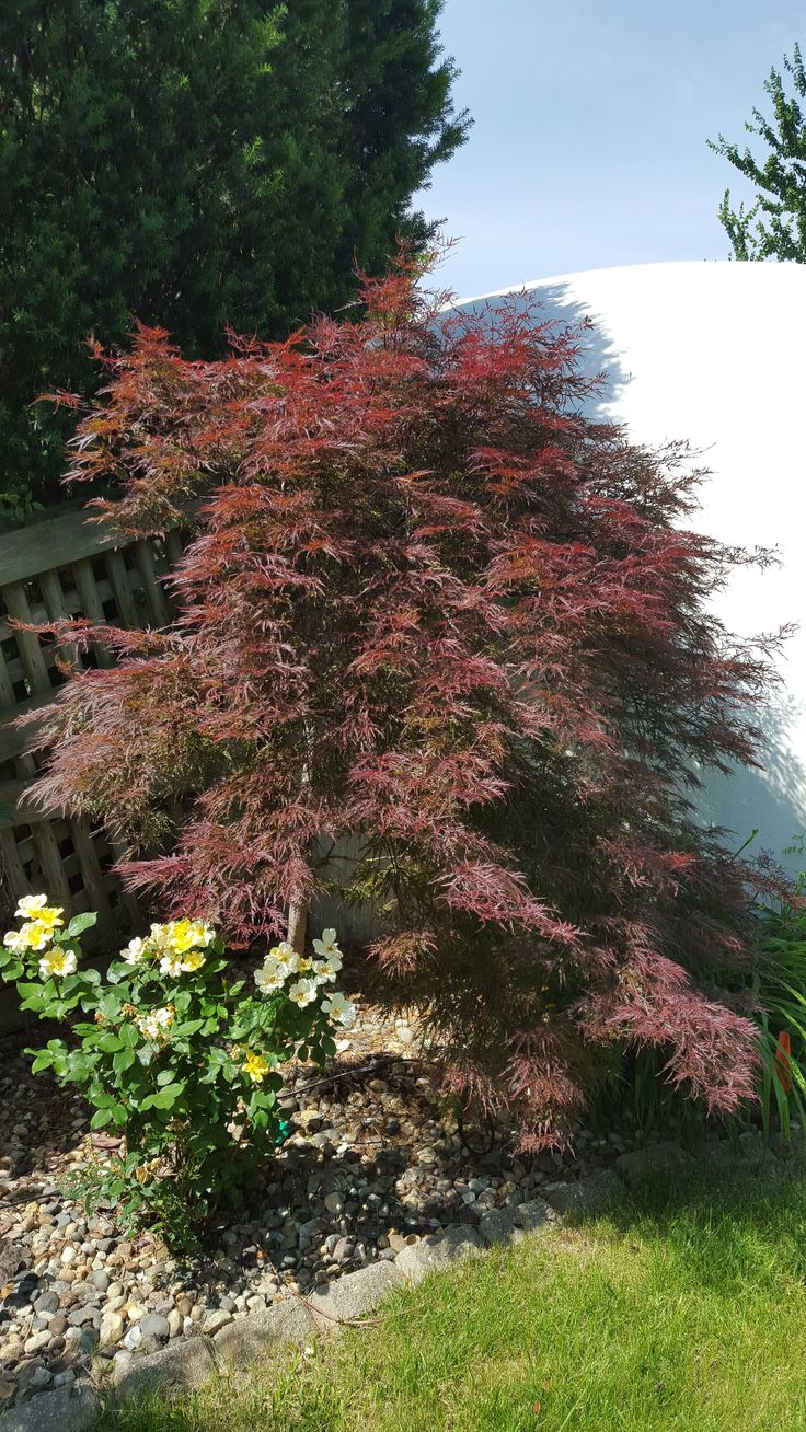 12 foot maple tree 35 best images about maples maples maples on trees leaves and acer palmatum