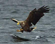 White-tailed eagle - Wikipedia, the free encyclopedia