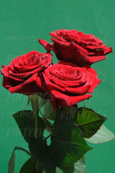 + HOL DIR DAS FOTO + Rote Rosen auf einem grünen Hintergrund – PINTYPICS ǀ STO…