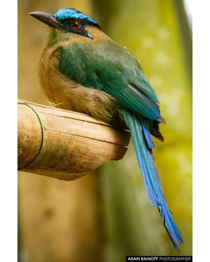 Amazonian Motmot Barranquero Parque del Cafe Colombia / This photo was taken June 14 2017 at Parque del Cafe Colombia. / 2017 Adam Rainoff / #armenia #barranquero #BIRD #birding #BIRDS #Colombia #montenegro #motmot #park #parquedelcafe #tourism #travel #tropical