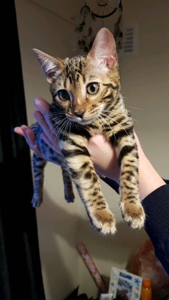 Bengal Kitten 4 Months In Kirkliston Edinburgh Gumtree Bengal Kitten Asian Leopard Cat Bengal Cat
