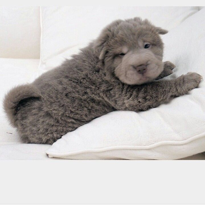 Adorable long haired Shar Pei.