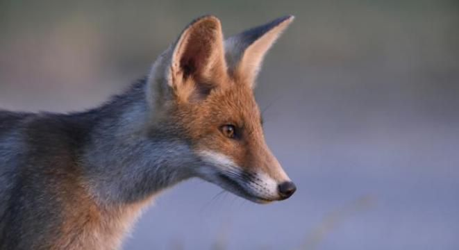 A Soviet scientist created the only tame foxes in the world