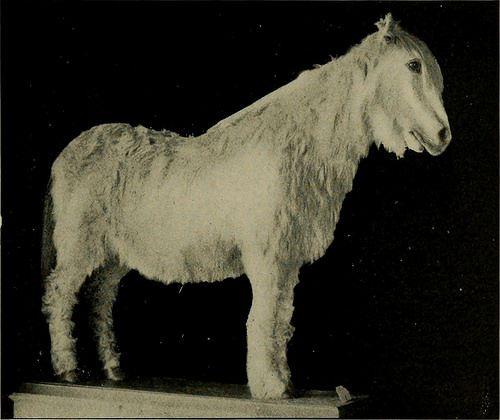 NORWEGIAN FJORD HORSE, LOFOTEN VARIETY. MOUNTED SPECIMENIN THE BERGEN MUSEUM STEJNEGER]